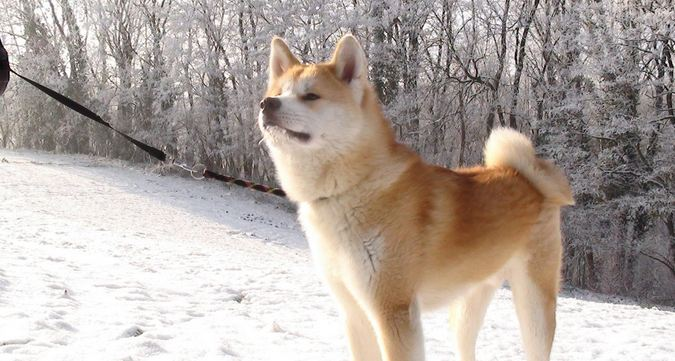 Akita Inu, Most Beautiful Dog Breeds 2016