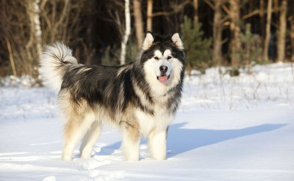 Alaskan Malamute, Most Beautiful Dog Breeds 2017