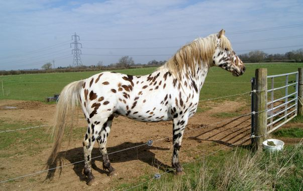 Appaloosa, World's Most Expensive Horse Breeds 2017