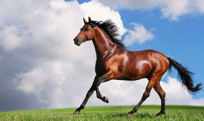 Arabian Horse, World's Most Expensive Horse Breeds 2018