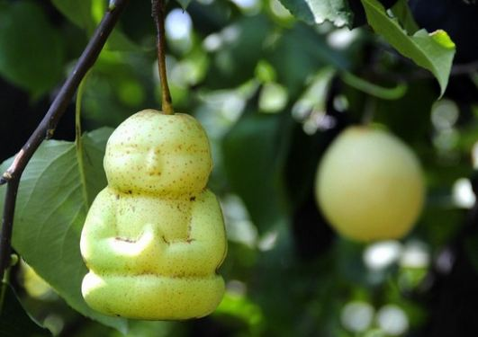 Buddha Shaped Pears, World's Most Expensive Fruits 2016