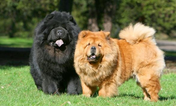 Chow Chow, Most Beautiful Dog Breeds 2017