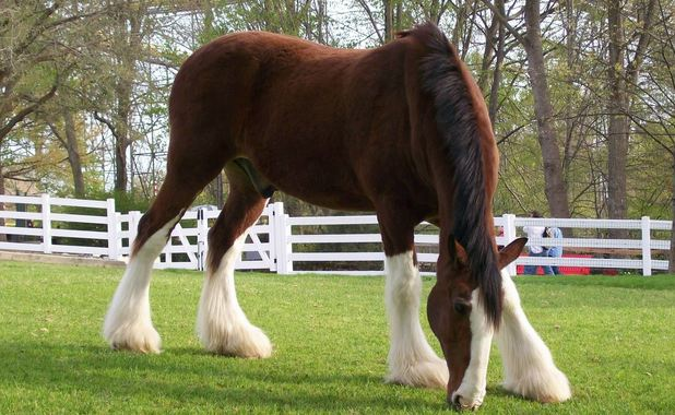 Clydesdale, World's Most Expensive Horse Breeds 2016