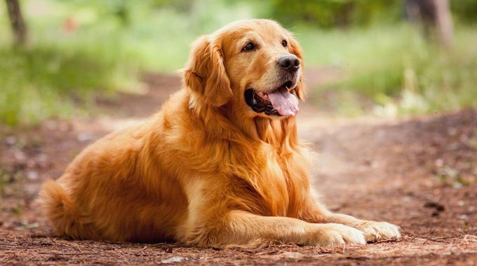 Golden Retriever, Most Beautiful Dog Breeds 2016