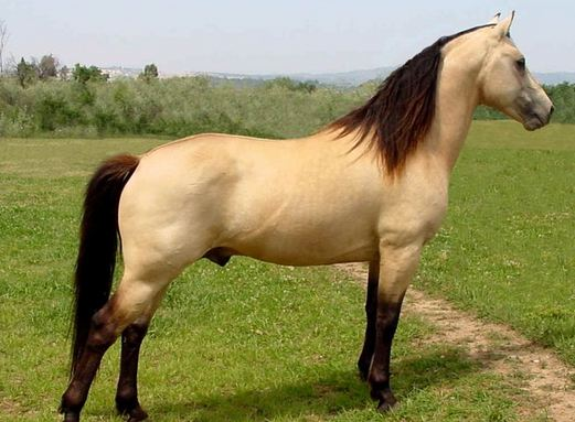 Morgan, World's Most Expensive Horse Breeds 2018