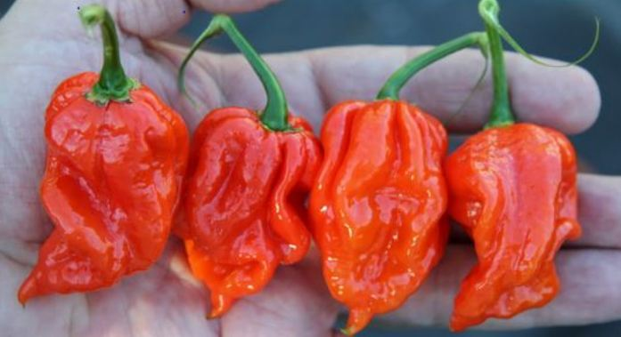 Naga Viper Hottest Peppers 2018