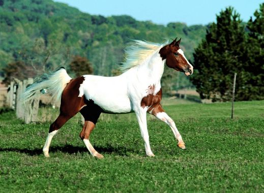 Paint Horse, World's Most Expensive Horse Breeds 2017