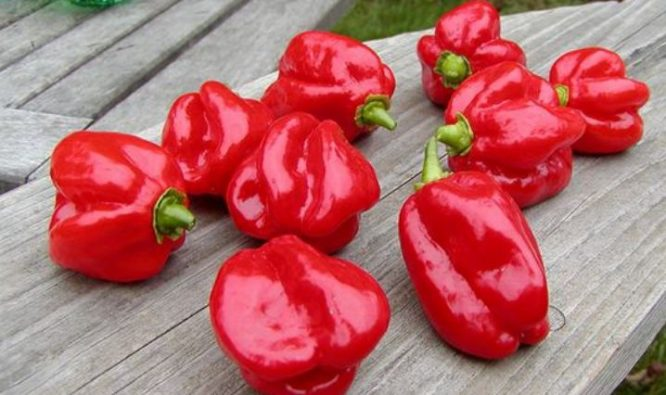 Red Savina Habanero Hottest Peppers 2017