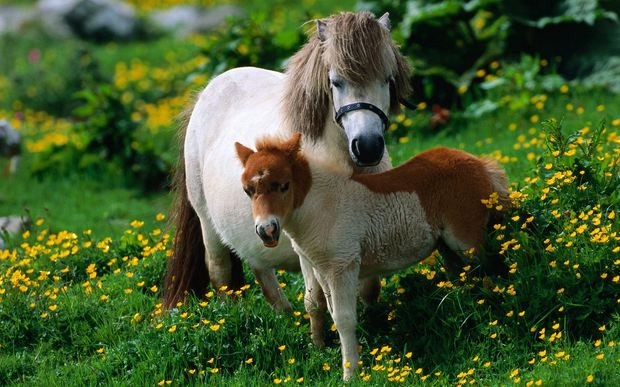 Shetland Pony, World's Most Expensive Horse Breeds 2018