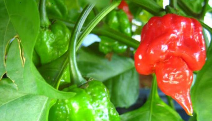 Trinidad Scorpion Butch T Hottest Peppers 2017