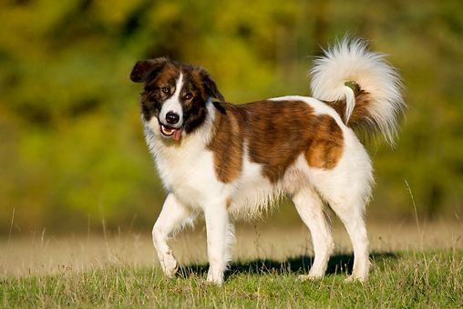 Aidi most famous Cheapest Dog Breeds 2016-2017