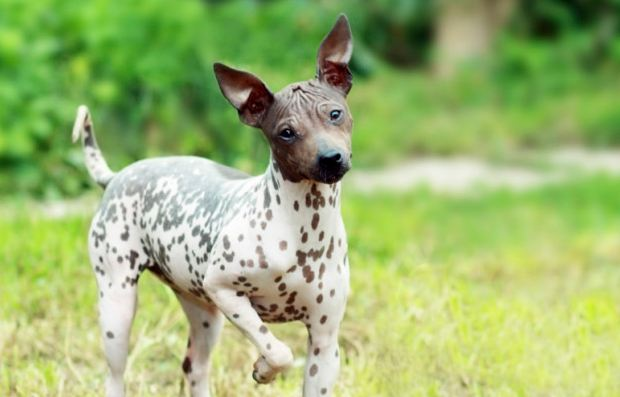American Hairless Terrier most popular Cheapest Dog Breeds 2016-2017