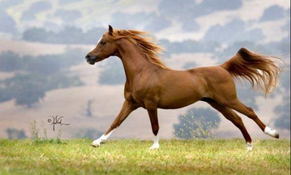 Arabian Horse, Most Beautiful Expensive Pets 2019
