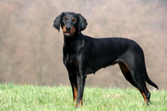 Black And Tan Coonhound most popular Cheapest Dog Breeds 2016-2017