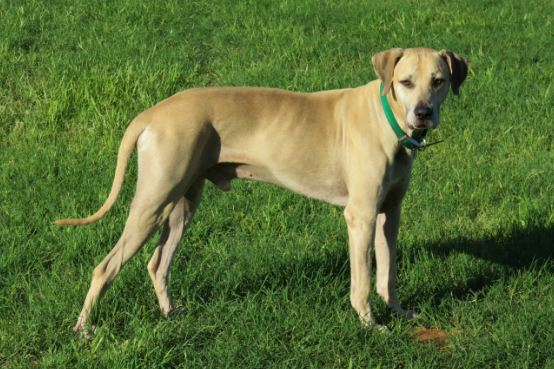 Black Mouth Cur most popular Cheapest Dog Breeds 2016-2017