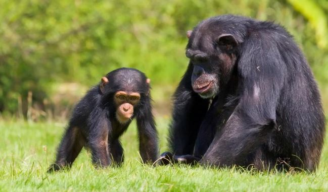 Chimpanzees, Most Beautiful Expensive Pets 2017