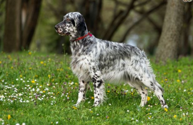 English Setter most popular Cheapest Dog Breeds 2016-2017