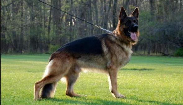German Shephard, Most Beautiful Expensive Pets 2018