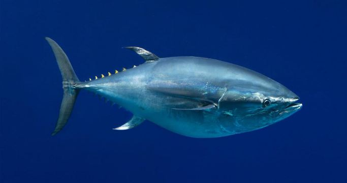 Pacific Bluefin, Most Beautiful Expensive Pets 2017