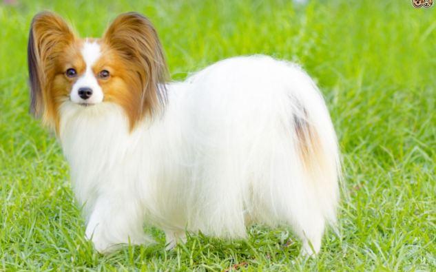 Papillon Cheapest Dog Breeds 2016-2017