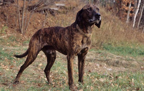 Plott Hound most famous Cheapest Dog Breeds 2016-2017