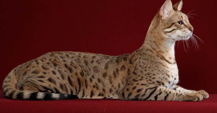 Savannah Cats, Most Beautiful Expensive Pets 2017
