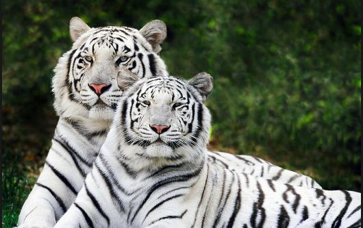 White Bengal Tigers Tuna, Most Beautiful Expensive Pets 2018