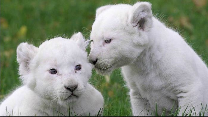 White Lion Cubs, Most Beautiful Expensive Pets 2017