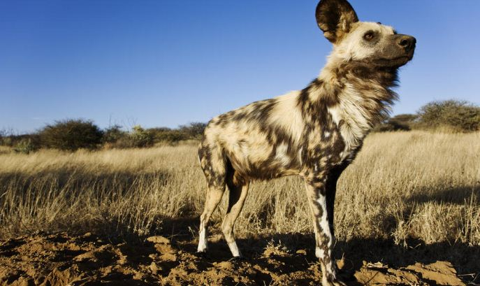african wild dog, Top 10 Fastest Animals in The World 2017