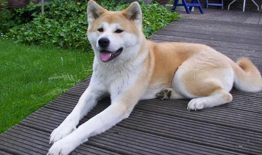Akita Top 10 Most Expensive Dog Breeds 2017
