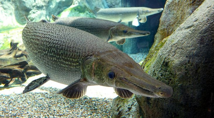 alligator-gar-top-10-largest-freshwater-fish-in-ahe-world-2017