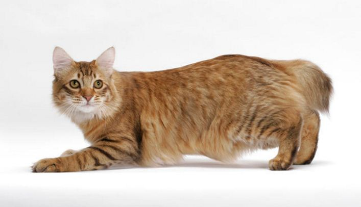american-bobtail-top-ten-largest-cat-breeds-in-the-world-2017