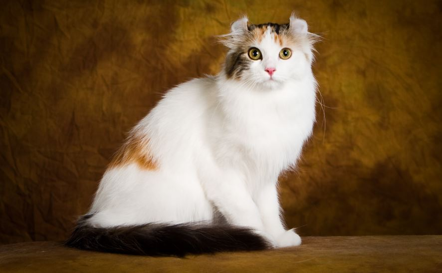 American Curl Top 10 Most Bizarre Cat Breeds 2017