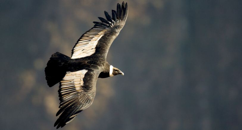 andean-condor-top-10-largest-and-heaviest-living-birds-in-the-world-2017