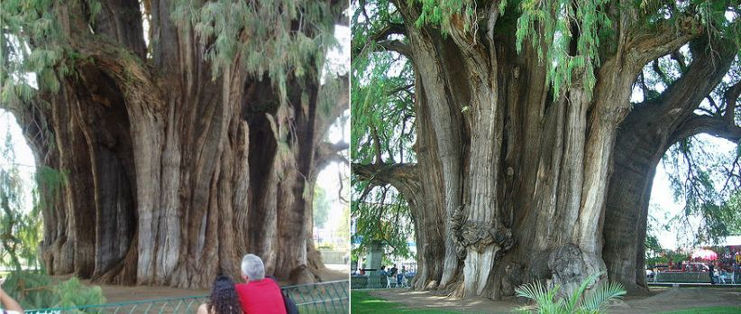 arbol-del-tule-top-10-largest-trees-of-the-planet-earth