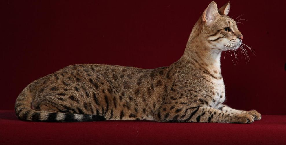 savannah cat mix