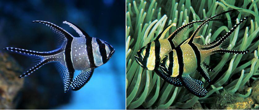 banggai-cardinalfish-beautiful-fishes-2017-2018