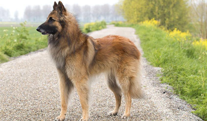 belgian-tervuren-top-10-best-police-dog-breed-2017