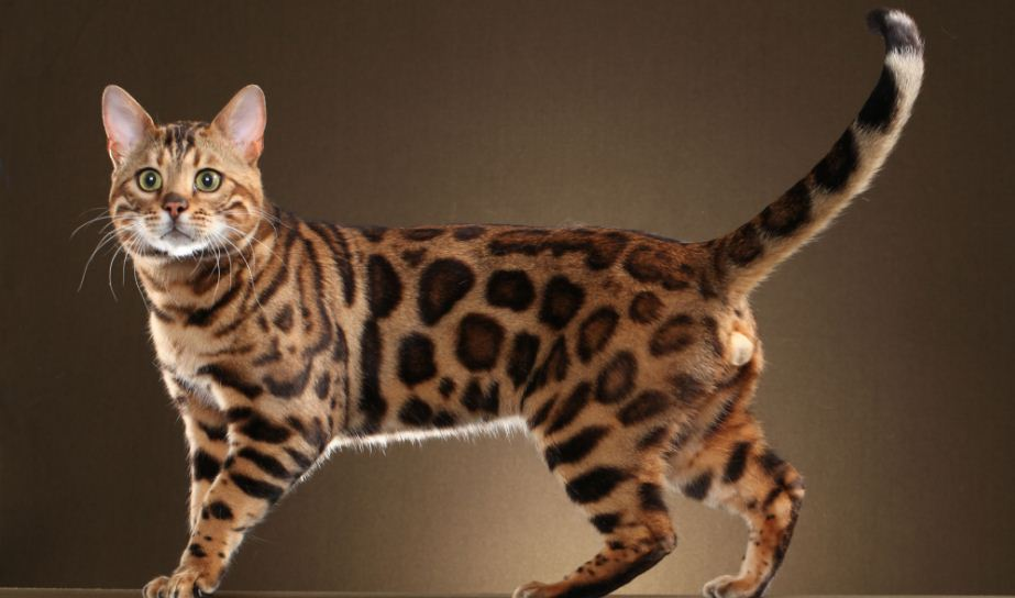 The Most Expensive Cat Breeds Top