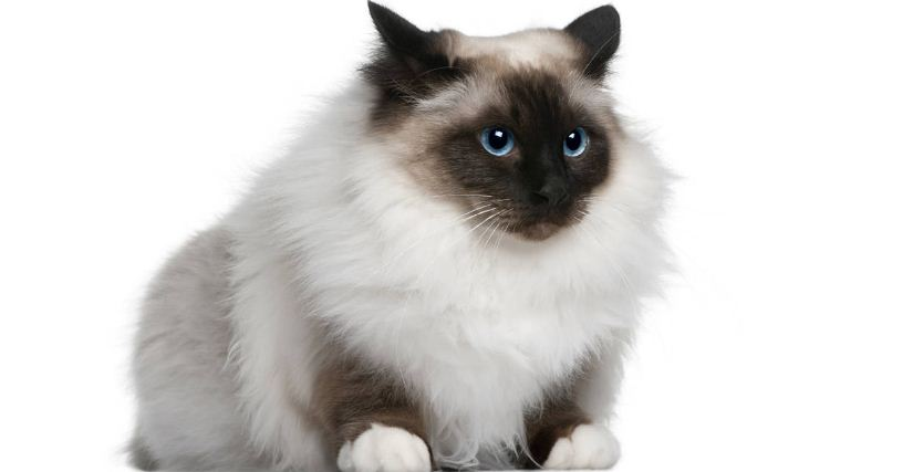 birman-top-most-popular-selling-cat-breeds-in-america-2018