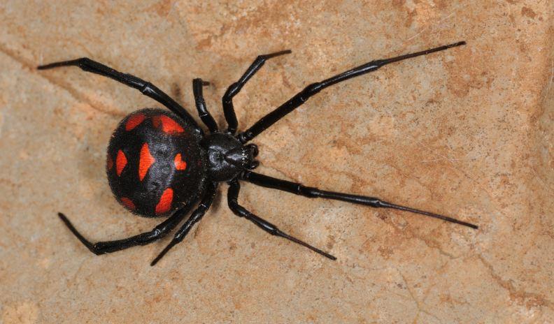 black-widow-spider-top-10-dangerous-spiders-in-the-world-2017