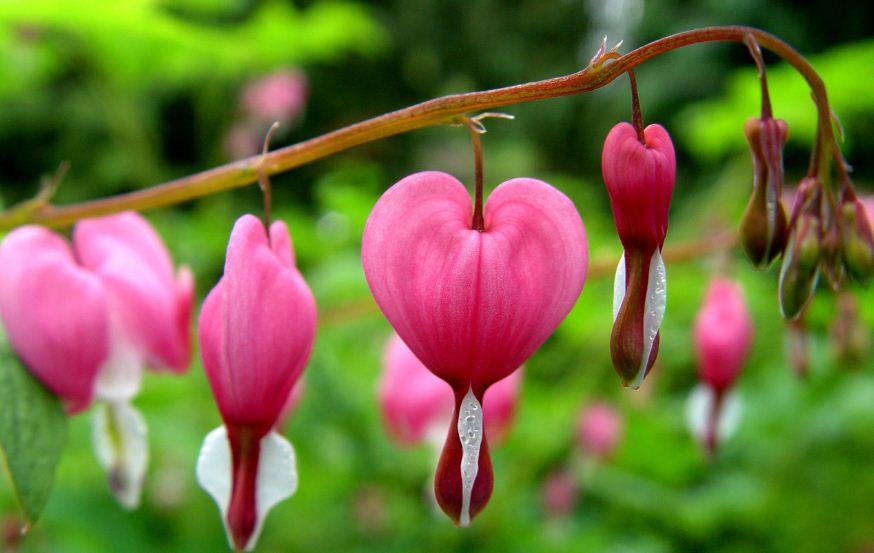 Bleeding Heart Top 10 Best Most Beautiful Flower