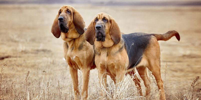 bloodhound, Top 10 Best Selling Police Dog Breeds in The World 2017