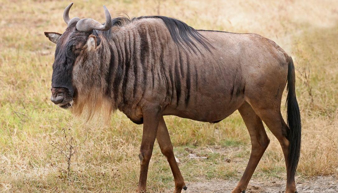blue-wildebeest-top-popular-fastest-animals-in-the-world-2017