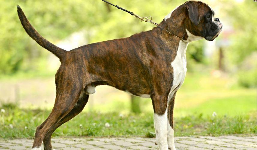 boxer-dog-top-popular-police-dog-breed-2018