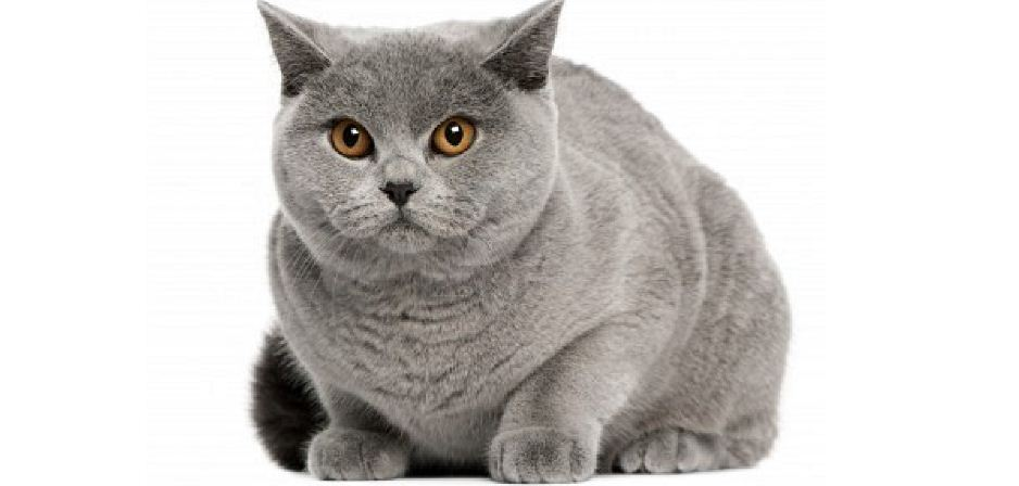 british shorthair, Top 10 Most Expensive Cat Breeds in The World 2018