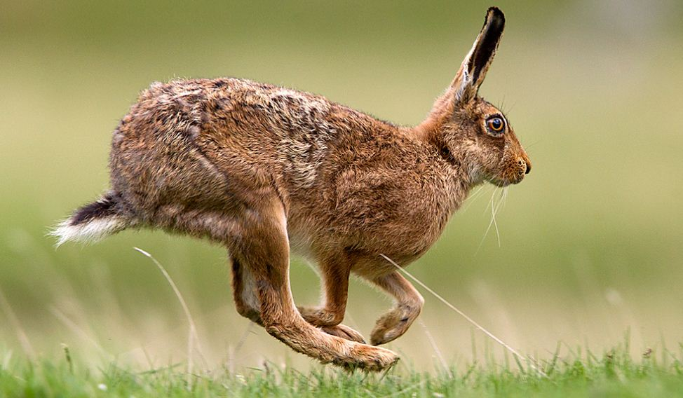 Brown Hare Top Most Popular Fastest Animals in The World 2018
