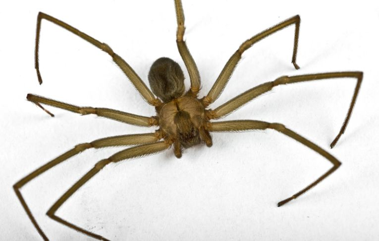 brown-recluse-spider-top-most-dangerous-spiders-in-the-world-2017
