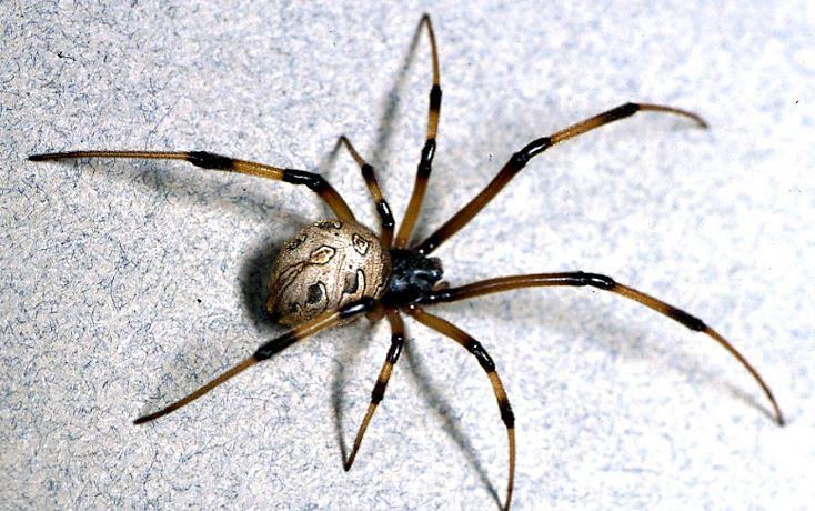 brown-widow-spider-top-popular-dangerous-spiders-in-the-world-2018