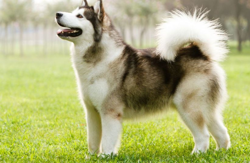 Most Expensive Dog Breeds in The World 2017, Top 10 List